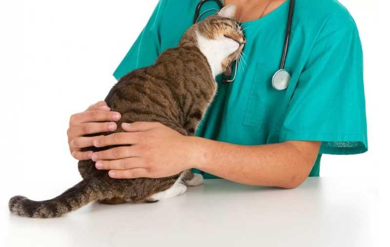 Стерилизация кошки на дому в районе Кунцево Западном Административном Округе Москвы (ЗАО)