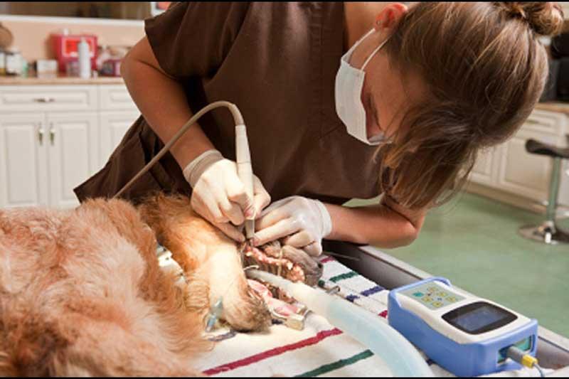 Чистка зубов у животных (собаки, кошки) ультрозвуковом в районе Кунцево (ЗАО)